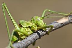Green bush-cricket Royalty Free Stock Photo