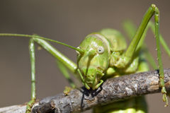 Green bush-cricket Royalty Free Stock Photography