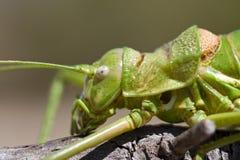 Green bush-cricket Stock Photos