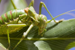 Green bush-cricket Royalty Free Stock Photos