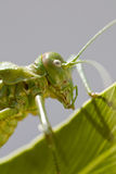 Green bush-cricket Stock Photo