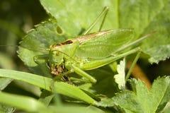 Green bush cricket Stock Photos