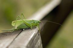 Green bush cricket Stock Image