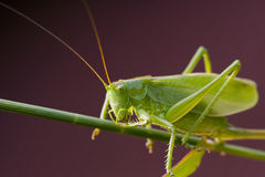 Green bush cricket Stock Images