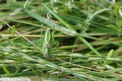 Green bush cricket Royalty Free Stock Photography