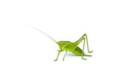 Green Bush-cricket. Isolated Stock Photo
