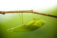 Green bush cricket, katydid or long-horned grasshopper insect family Tettigoniidae attached to a tree branch wooden stick. Green bush cricket, katydid or long stock photography