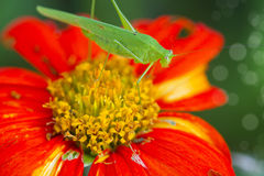Green Bush cricket Stock Image