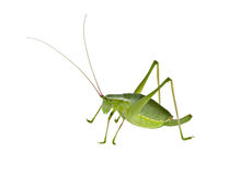 Green  bush-cricket ( long horned grasshopper) Stock Images