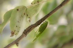 Green bush-cricket royalty free stock images
