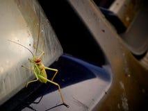 Green bush cricket of Tettigoniidae family climbing on car headlights. Stock Photography
