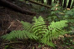 Green bush fern in the forest in summer.  royalty free stock images