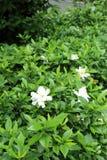 Green bush in flowerbed with Gardenia jasminoides (Cape jasmine) flowers. Green bush in flowerbed with Gardenia jasminoides (Cape jasmine) flowers stock photos