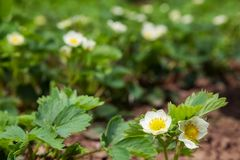 Strawberry. Green bush with flowers in the garden strawberry. background outdoors Stock Photos
