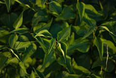 Green bush with foliage close up for your backdrop