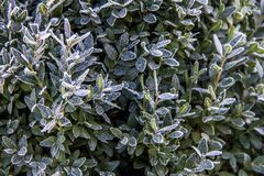 Green Bush in frost royalty free stock image
