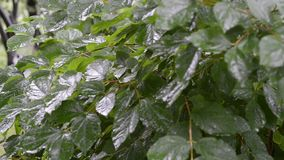 Green bush in garden. Fresh leafs of green bush in garden by summer under rain, panning footage stock video footage