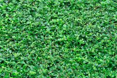 Green bush or grass texture for decoration work. Green grass background Royalty Free Stock Image