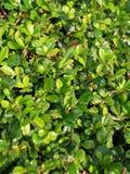 Green bush. Refreshing royalty free stock photo