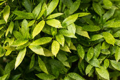 Green bush. Green leaves wall nature background. Royalty Free Stock Images