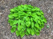 Green Bush of Heart Shaped Leaves stock photos