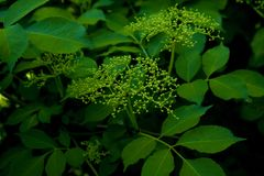 Green bush with inflorescences. Green bush with buds. Many green leaves and brushes with buds stock photos