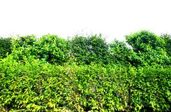 Green bush isolated on white background. For wallpaper royalty free stock photos