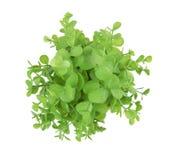 Green bush on white. Green bush isolated on a white background royalty free stock photos