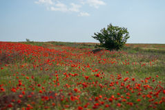 Green bush in a large poppy field Stock Images