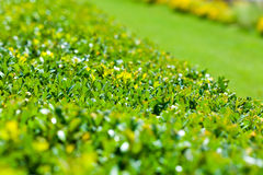 Green bush and lawn background Royalty Free Stock Images