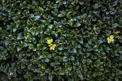 Green bush Royalty Free Stock Photography