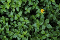 Green bush leaf with one small yellow flower for background.  royalty free stock image