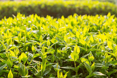 Green bush leaves in backlight Royalty Free Stock Images