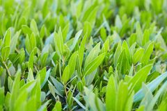 Green bush leaves. green hedge from the bushes sidewalk pedestrian zone. royalty free stock photography