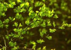 Stock-photo-green-bush-leaves stock image