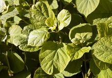 Green bush leaves texture. Stock Photos