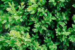 Green bush leaves wall background Stock Photography