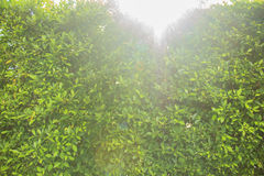 Green bush leaves wall can use as background Royalty Free Stock Images