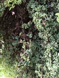 Green Bush. A light green bush with dirt speckled on the leaves Stock Photography