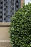 Green bush near a window. royalty free stock images