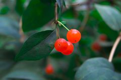 Green bush with orange berries stock images