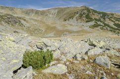 Green bush in Parang mountains. In a deserted, arid alpine area stock photo