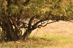 Green bush Royalty Free Stock Photos
