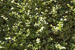 Green bush plants in the park. Leaves under the sun stock images