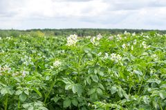 Green bush of potato with a flower. In village royalty free stock images