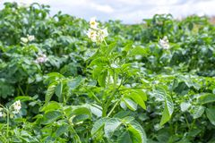Green bush of potato with a flower. In village royalty free stock photos