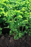 Green bush of potatoes on soil Stock Photo