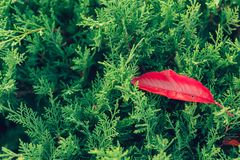 Green bush with red fall leaf nature forest wallpaper. Autumn season change concept royalty free stock photos