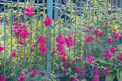Green bush with red roses on an iron fence Royalty Free Stock Image