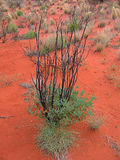 Green bush in the red sand of desert Stock Photo